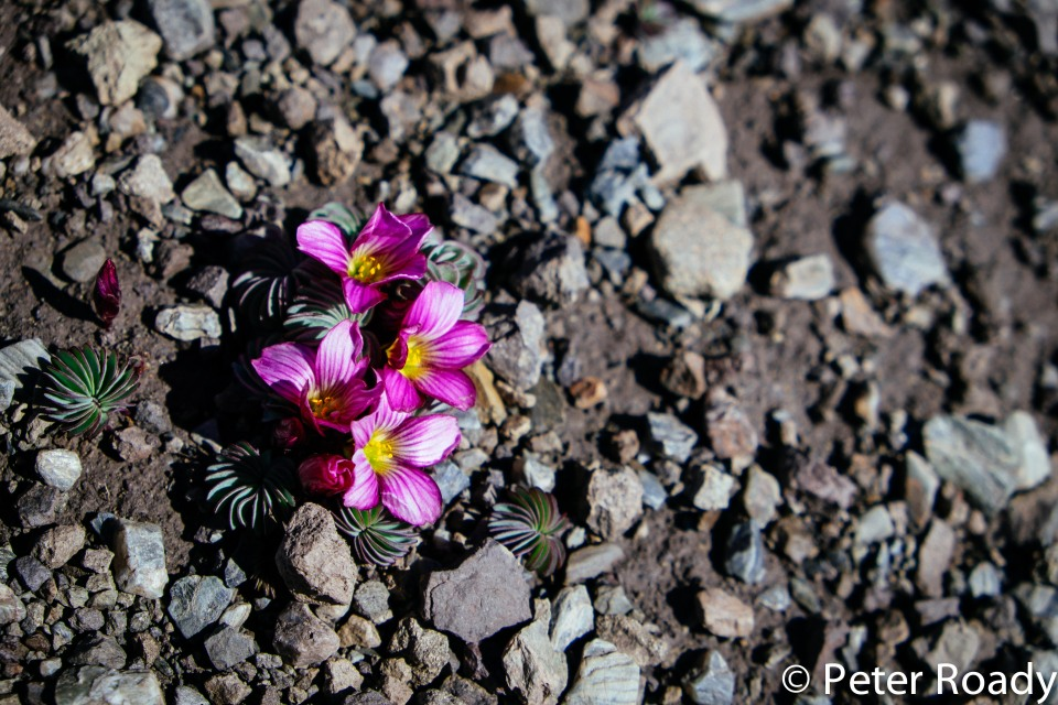 Flower on the trail in Patagonia
