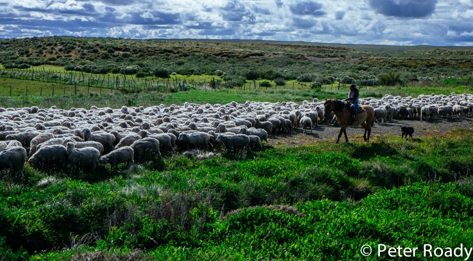 Sheep and gaucho in Patagonia