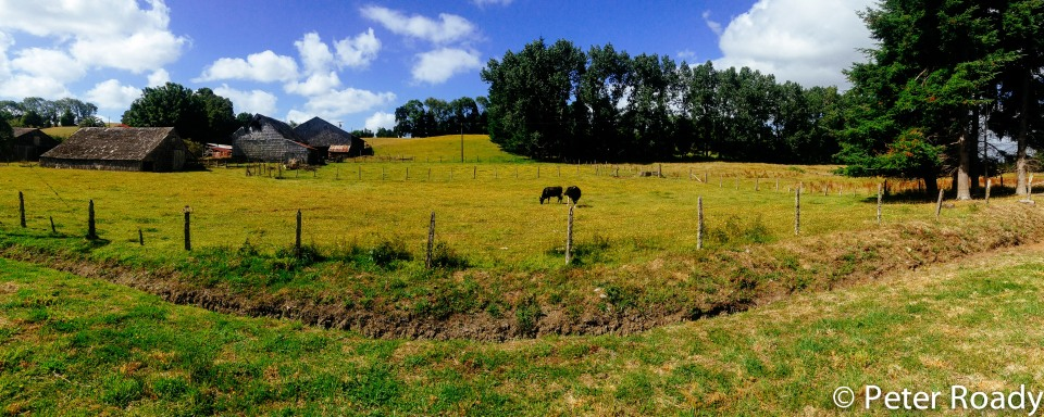 Happy cows near Puerto Varas